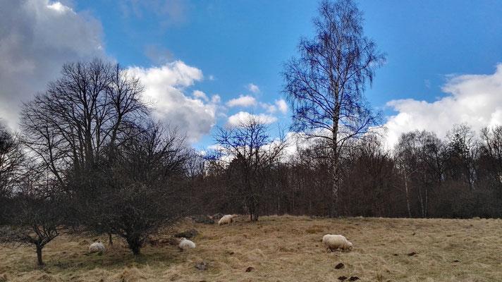 Schafweide mitten im Wald