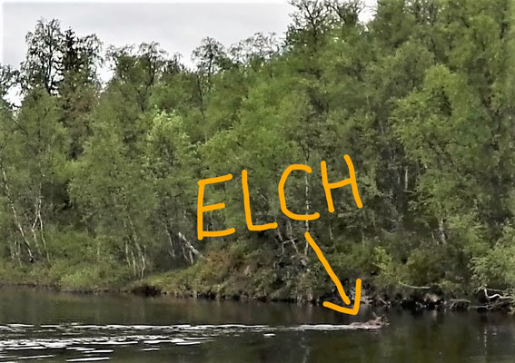 Leider habe ich meinen Fotoapparat erst gefunden, als der Elch schon fast am anderen Ufer war.