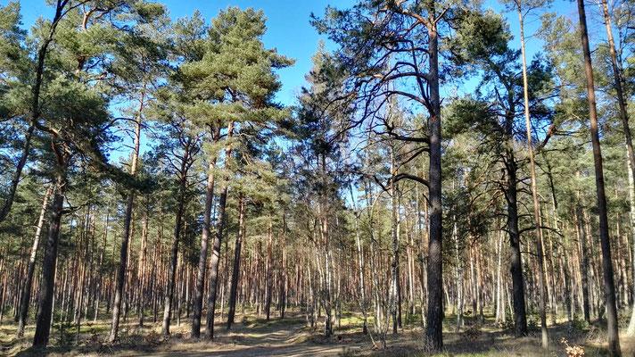 und immer wieder Kiefernwald