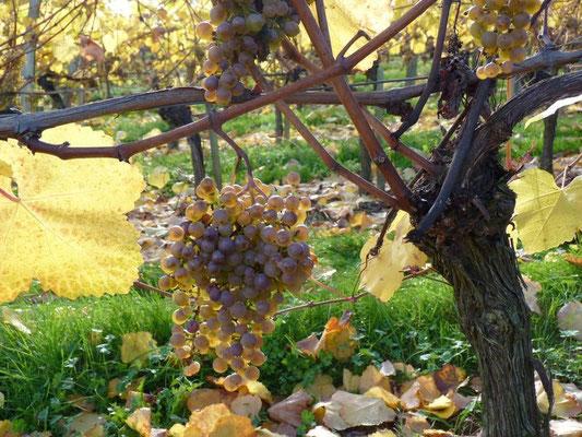 Vignoble et vin du Pacherenc du Vic-Bilh
