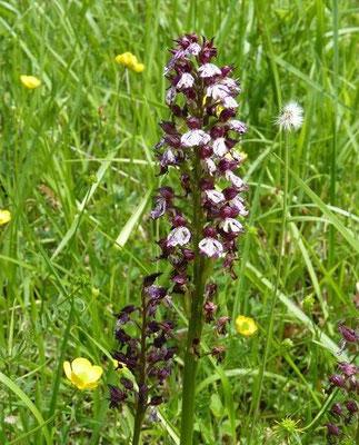 Orchidées sauvages du Vic-Bilh