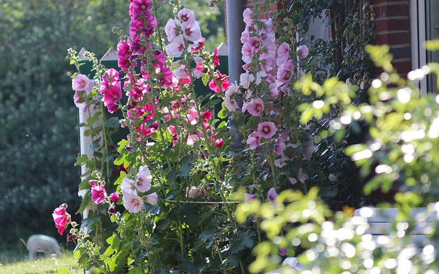 Üppige Stockrosen blühen im Sonnenschein