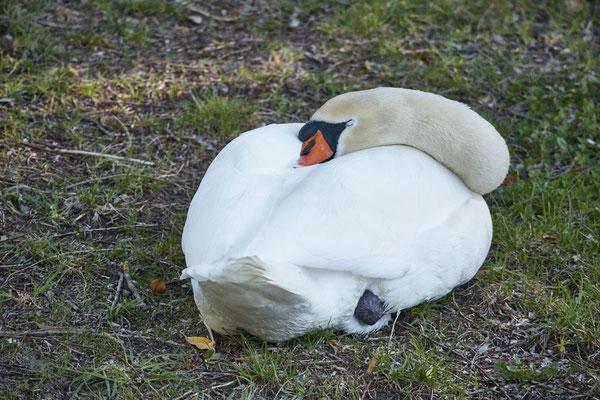 During breeding time: Aarau Philosophenweg