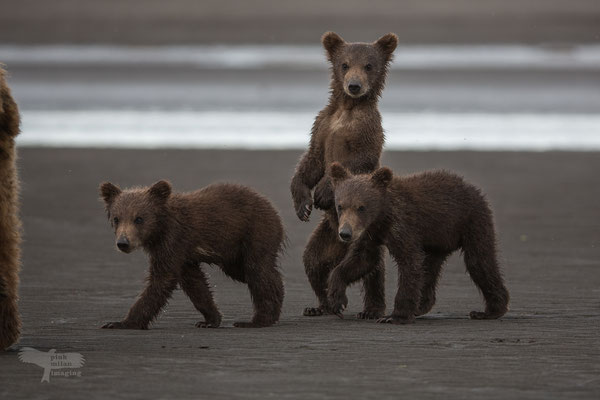 Alaska Grizzly, neugieriger Jungbär