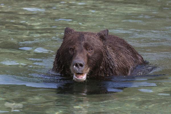 Alaska Grizzly schwimmend nach Lachs suchend