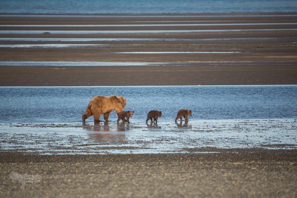 Alaska Grizzly, mother with cubs in tidal zone