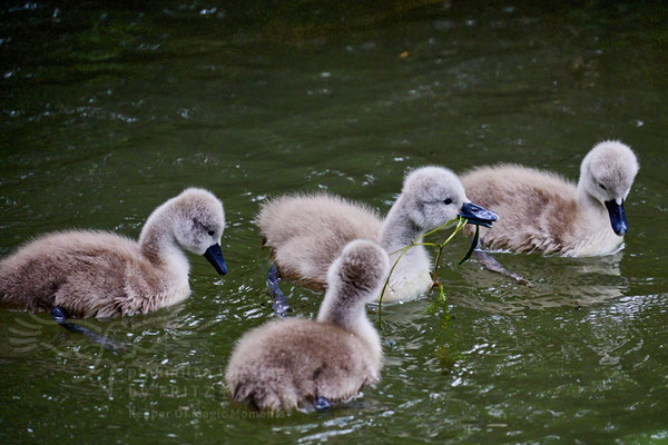 After birth, baby swan: Aarau Philosophenweg