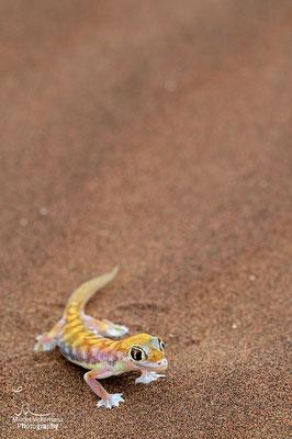 Swakopmund, Gecko palmé  (Namib dune gecko)