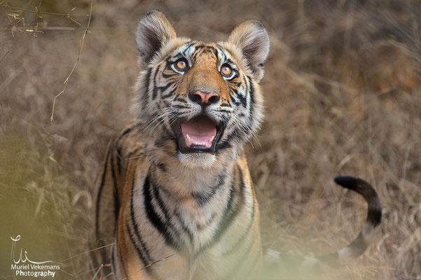 Tigre femelle et ces 4 jeunes de 11 mois
