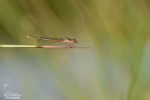Agrion rouge Neerpelt