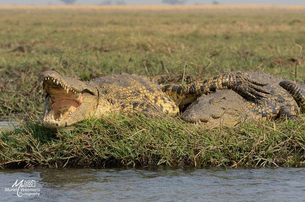 Crocodile Botswana
