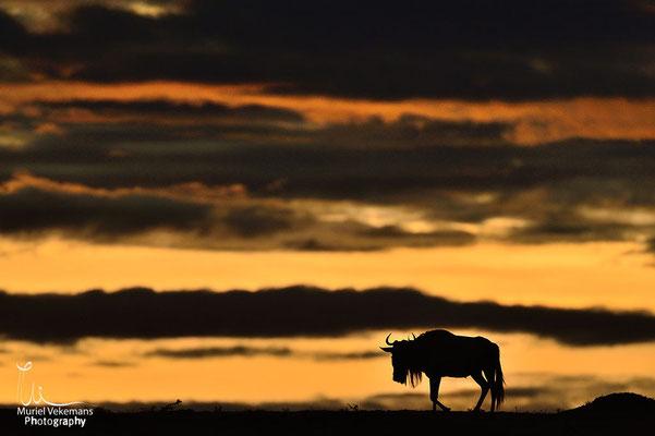 Kenya Masaï mara