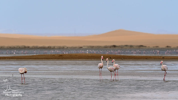Walvis bay flamants rose