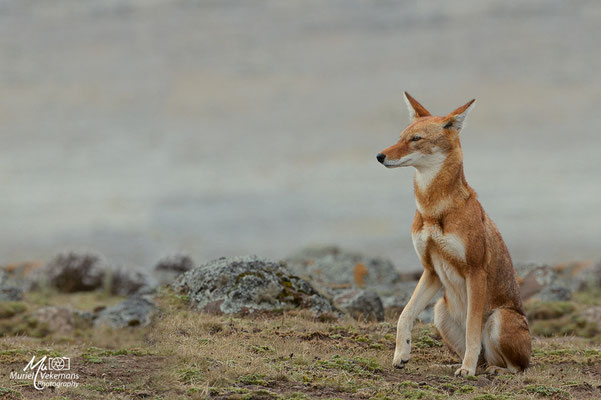 Bale mountains Loups d'Abyssinie