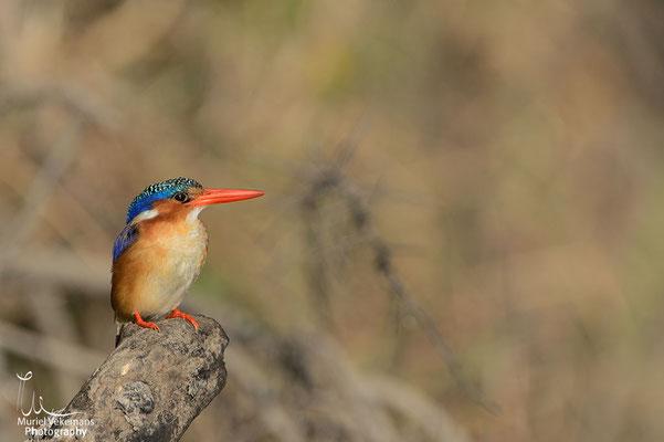 Okavango river martin pêcheur huppé