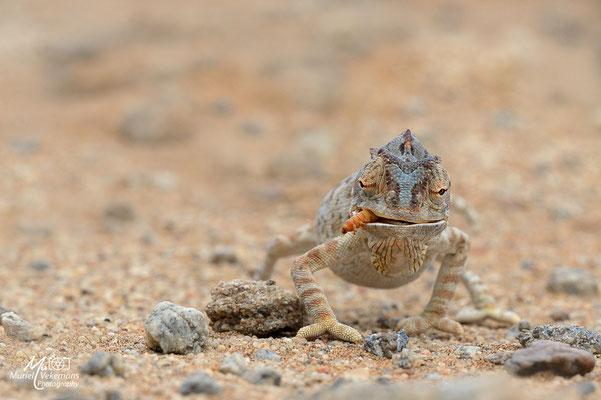 Caméléon Namibie
