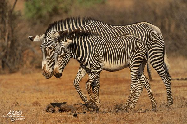 Samburu Zèbre de Grèvy