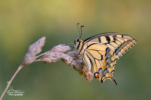 Machaon Juillet 2014