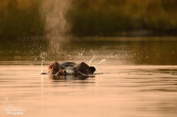 Mamili hippopotame