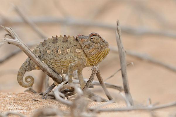 Swakopmund caméléon namaqua