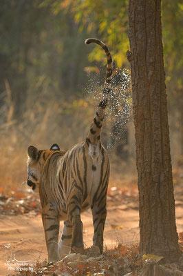 Tigre femelle Dotty