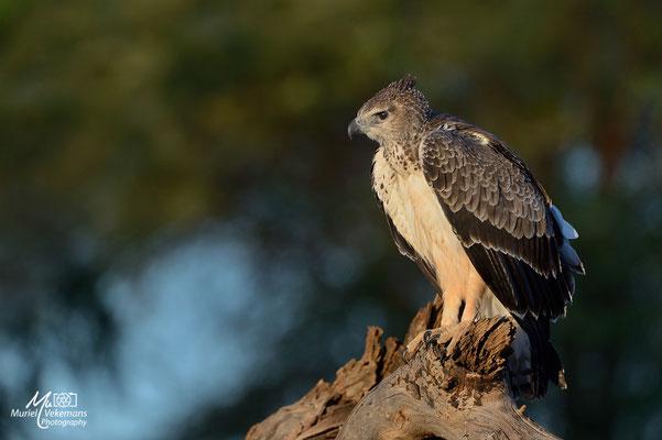 Samburu Circaète a poitrine noir juvénile