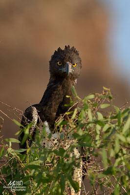 Samburu Circaète a poitrine noir