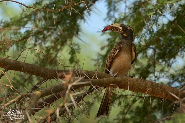 Samburu Calao