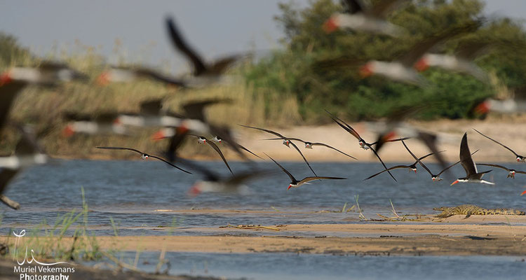 Okavango river bec ouvert africain