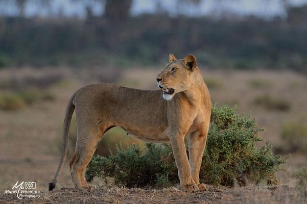 Samburu Lionne