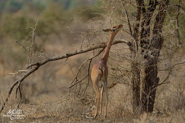 Samburu Gérénuk