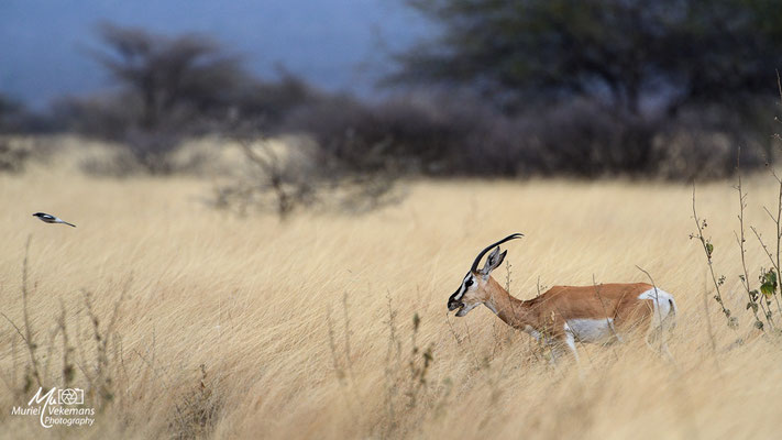 Awash national parc gazelle
