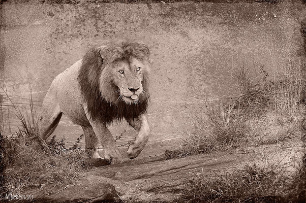 Notch Kenya Masaï Mara