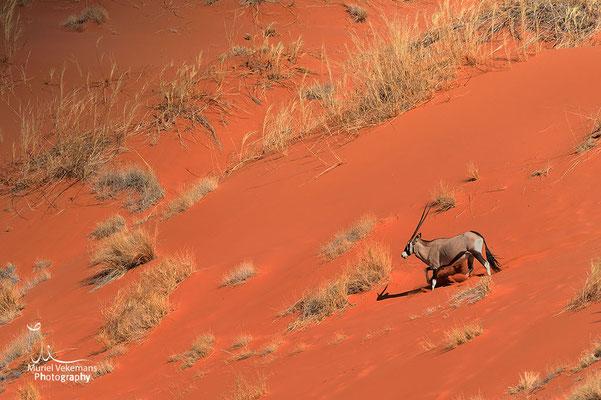 Sesriem Namib dunes  Elim oryx