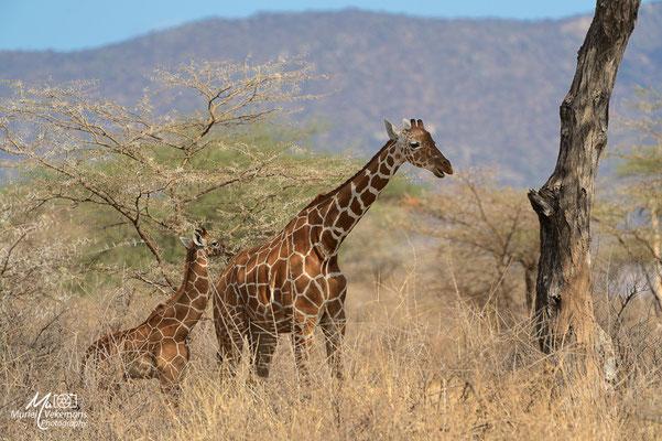 Samburu Girafe réticulée