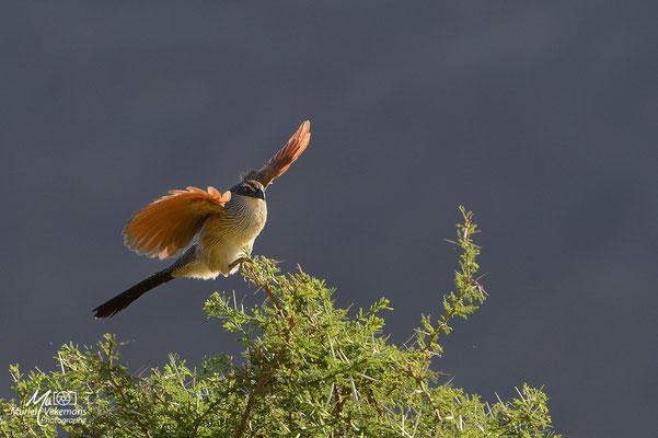 Samburu coucal à sourcil blanc