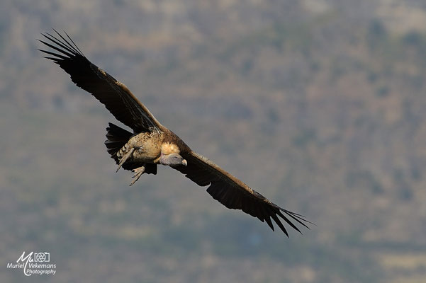 Debré Libanos vautour