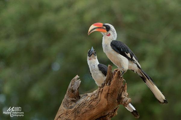 Samburu Calao de Jackson