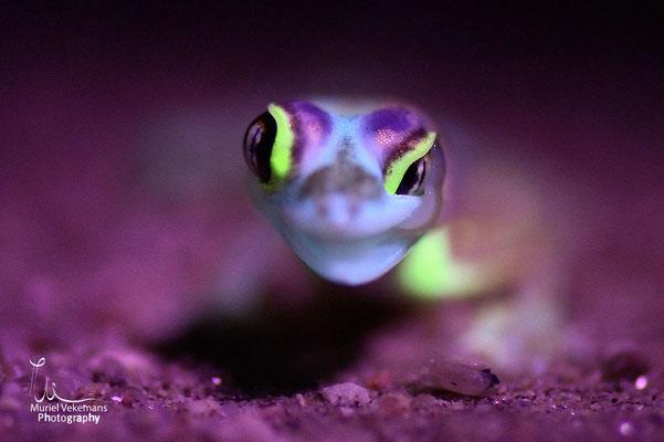 Swakopmund Gecko palmé  (Namib dune gecko)