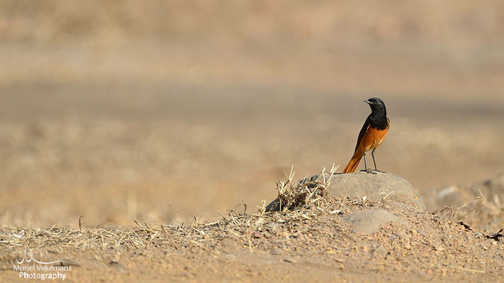 Black Redstart  Rougequeue noir
