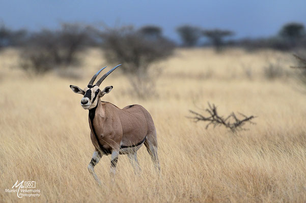 Awash national parc oryx