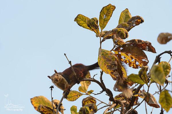 écureuil malabar