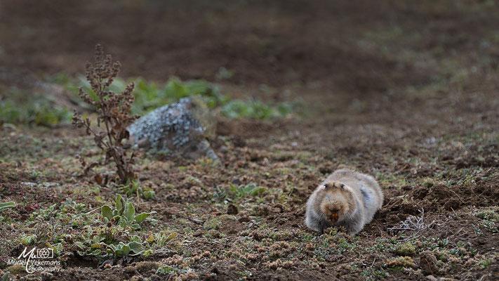 Bale mountains rat taupe géant