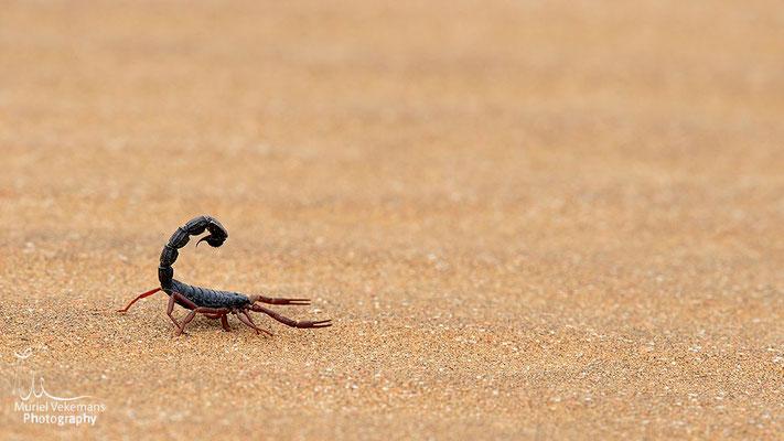 Swakopmund, scorpion