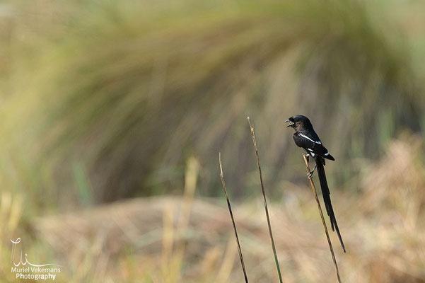 Mamili corvinelle noir et blanche
