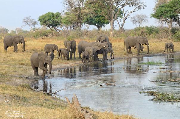Kwando river éléphant