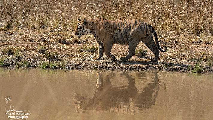 Tigre mâle Boomer