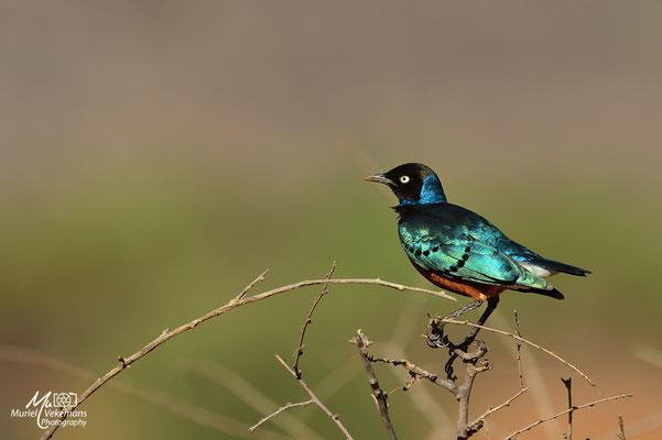 Samburu choucador superbe