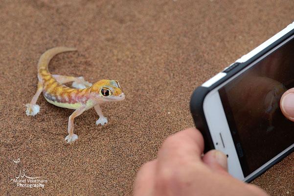 Swakopmund, Gecko palmé  (Namib dune gecko)  une vrai star.