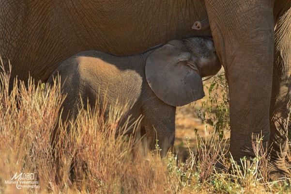 Samburu éléphant